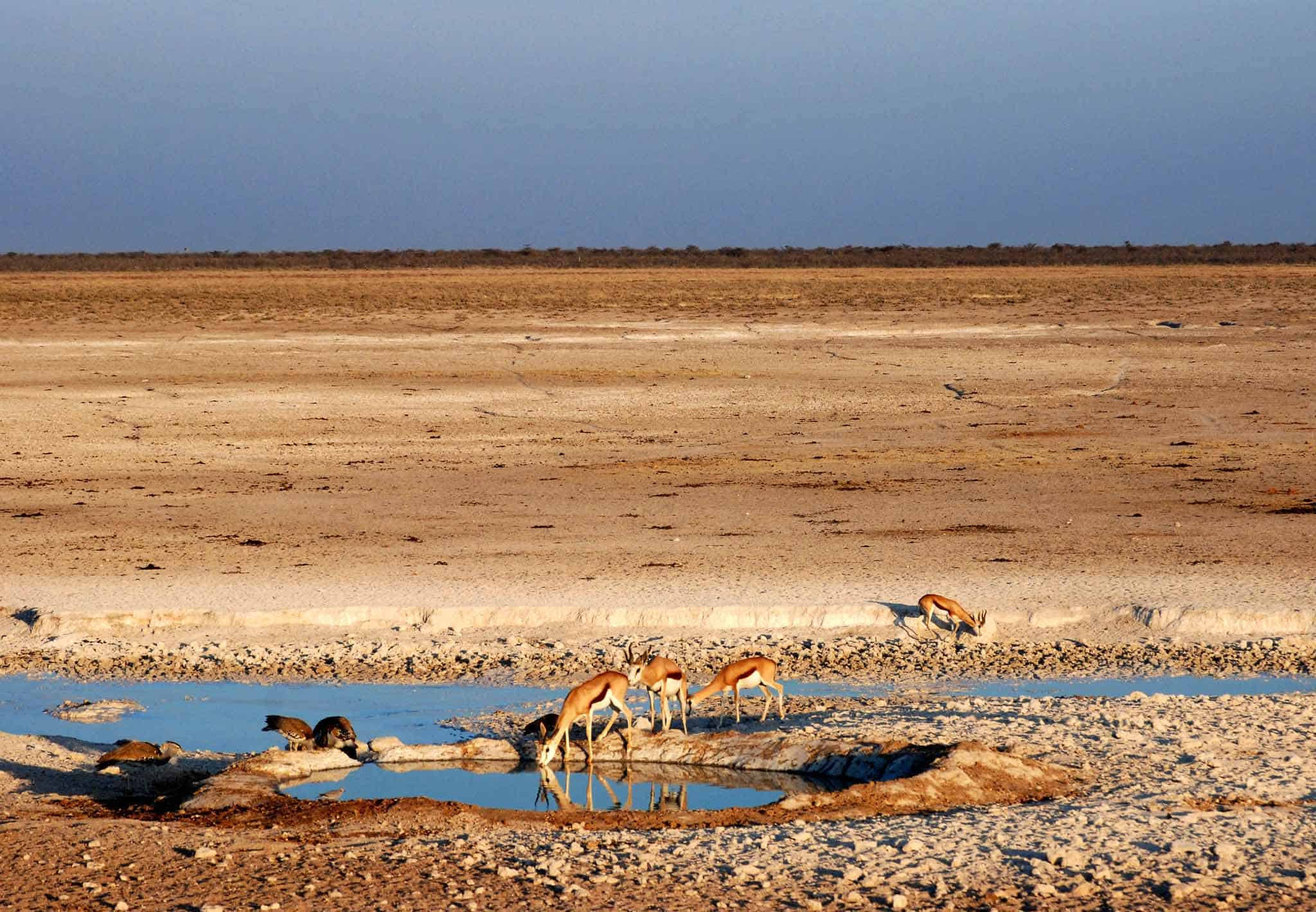 Gazelles drinking